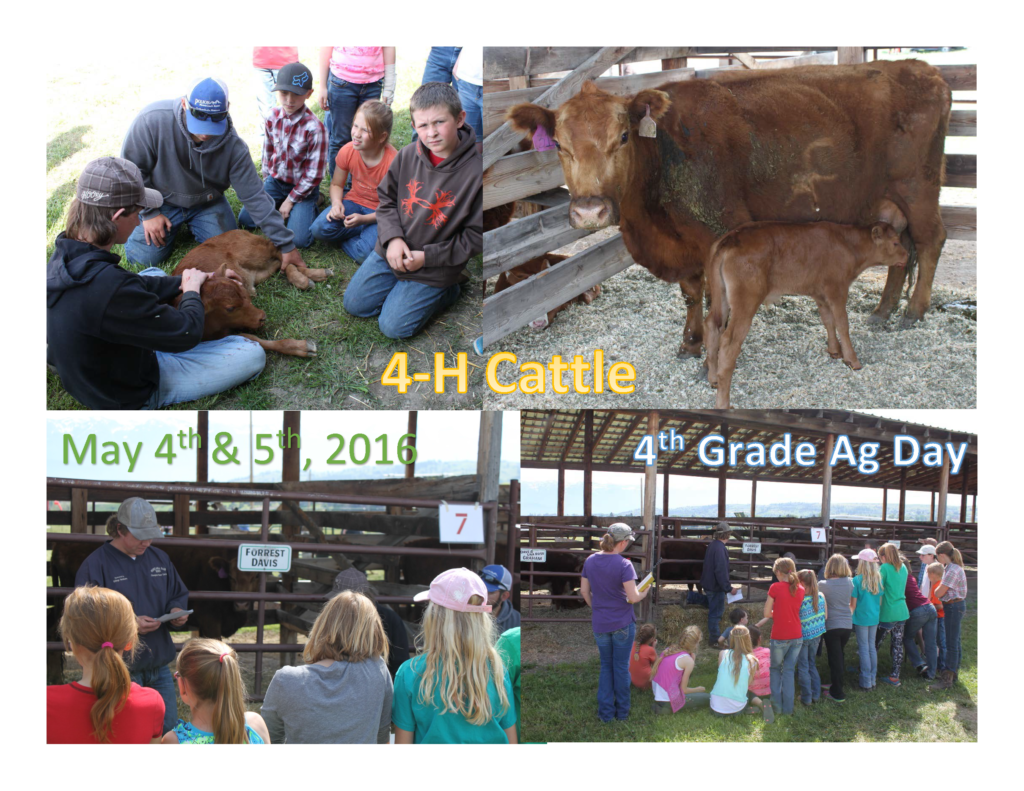 4H Cattle